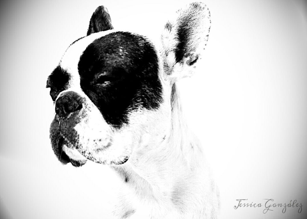 bulldog frances foto