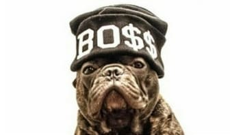 bulldog frances famoso boss