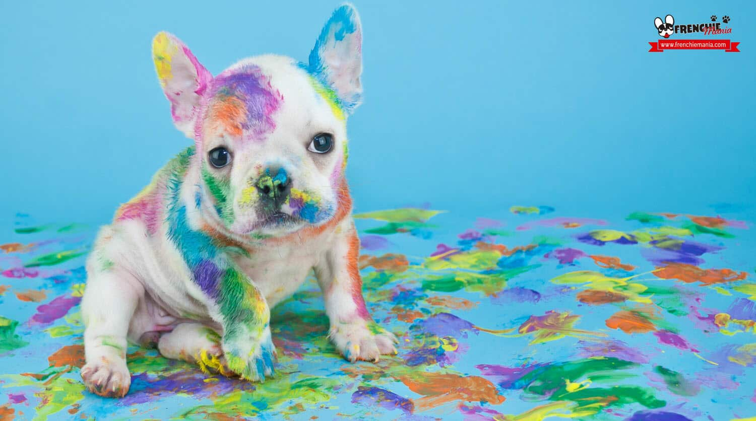 reasons not to buy french bulldog dog dirty