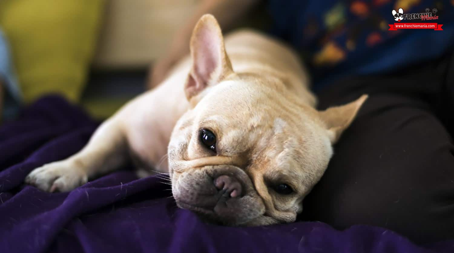 reasons not to buy french bulldog dog hair