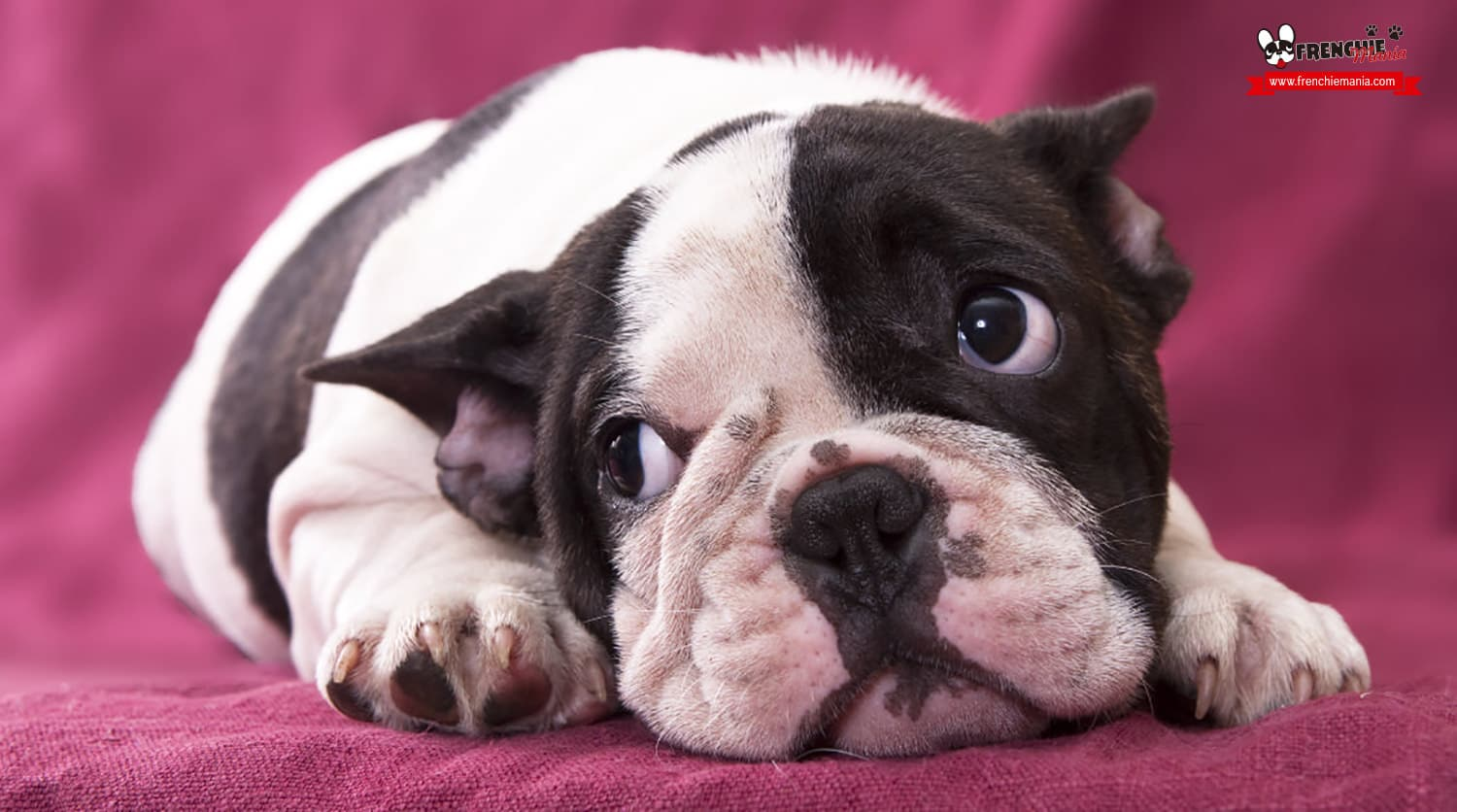 reasons not to buy french bulldog dog leave alone
