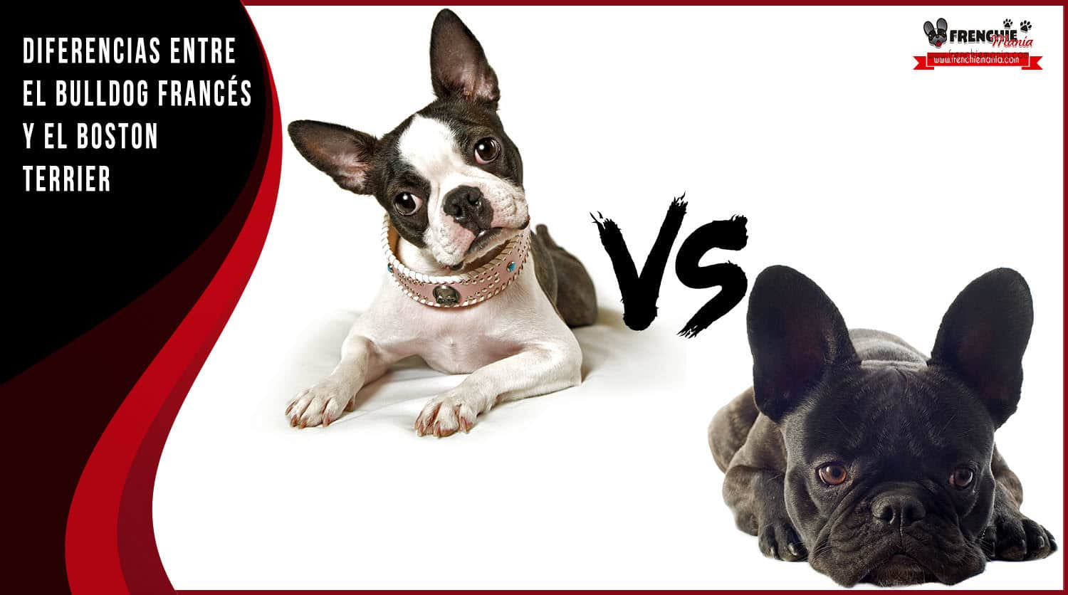 diferencias bulldog frances vs boston terrier
