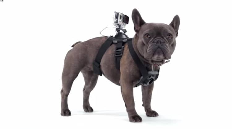 arnes perro fetch gopro bulldog frances