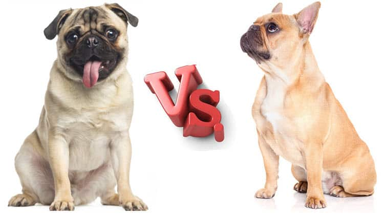 diferencias bulldog frances carlino pug