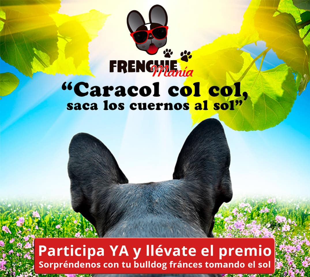 bulldog frances sol concurso fotos frenchiemania
