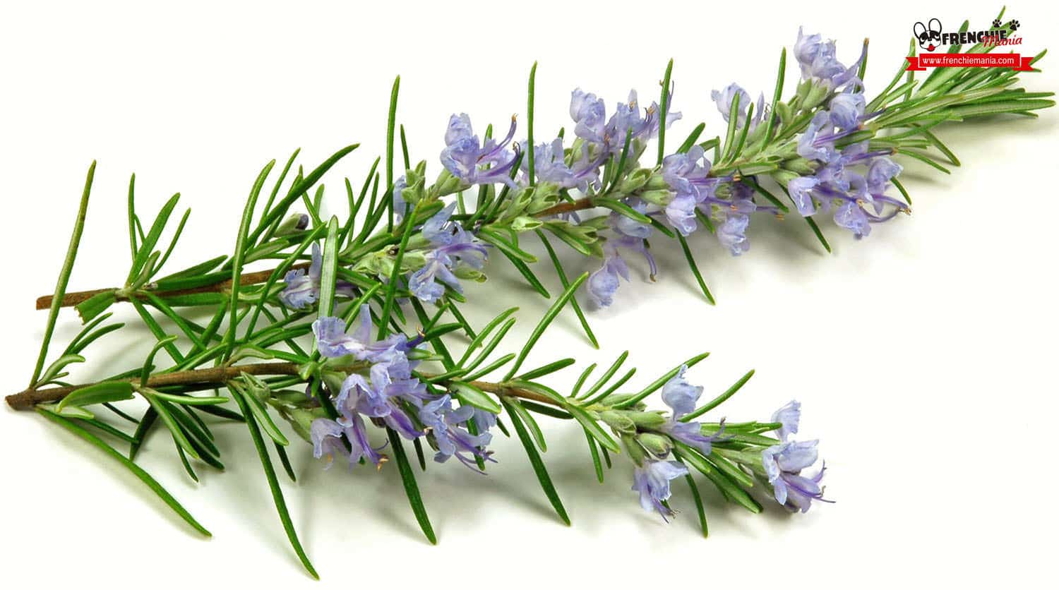 home remedies itching dog rosemary