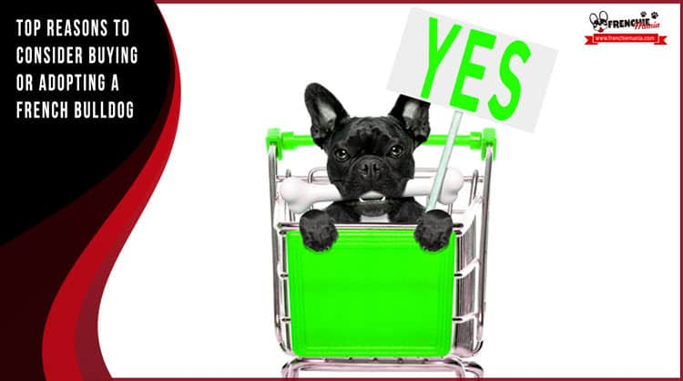 reasons to buy french bulldog dog