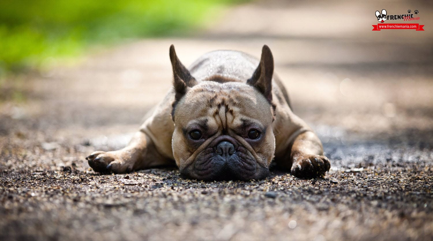 reasons to buy french bulldog dog little exercise