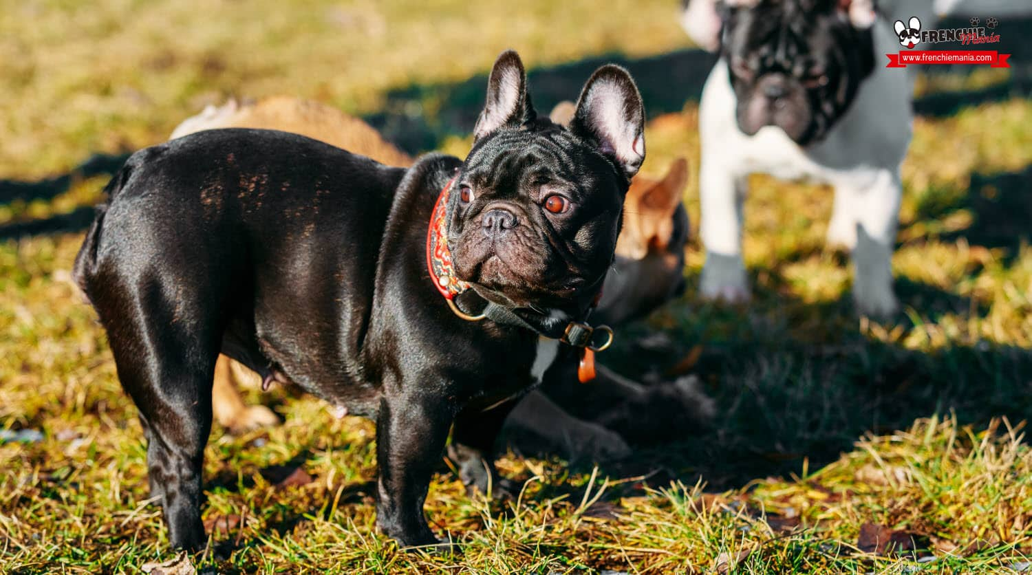 reasons to buy french bulldog dog sociable