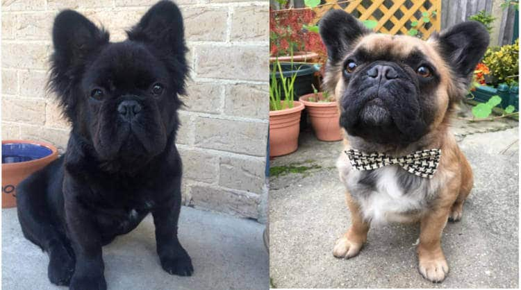 4 Keys of the Long Hair Gen of the French Bulldog