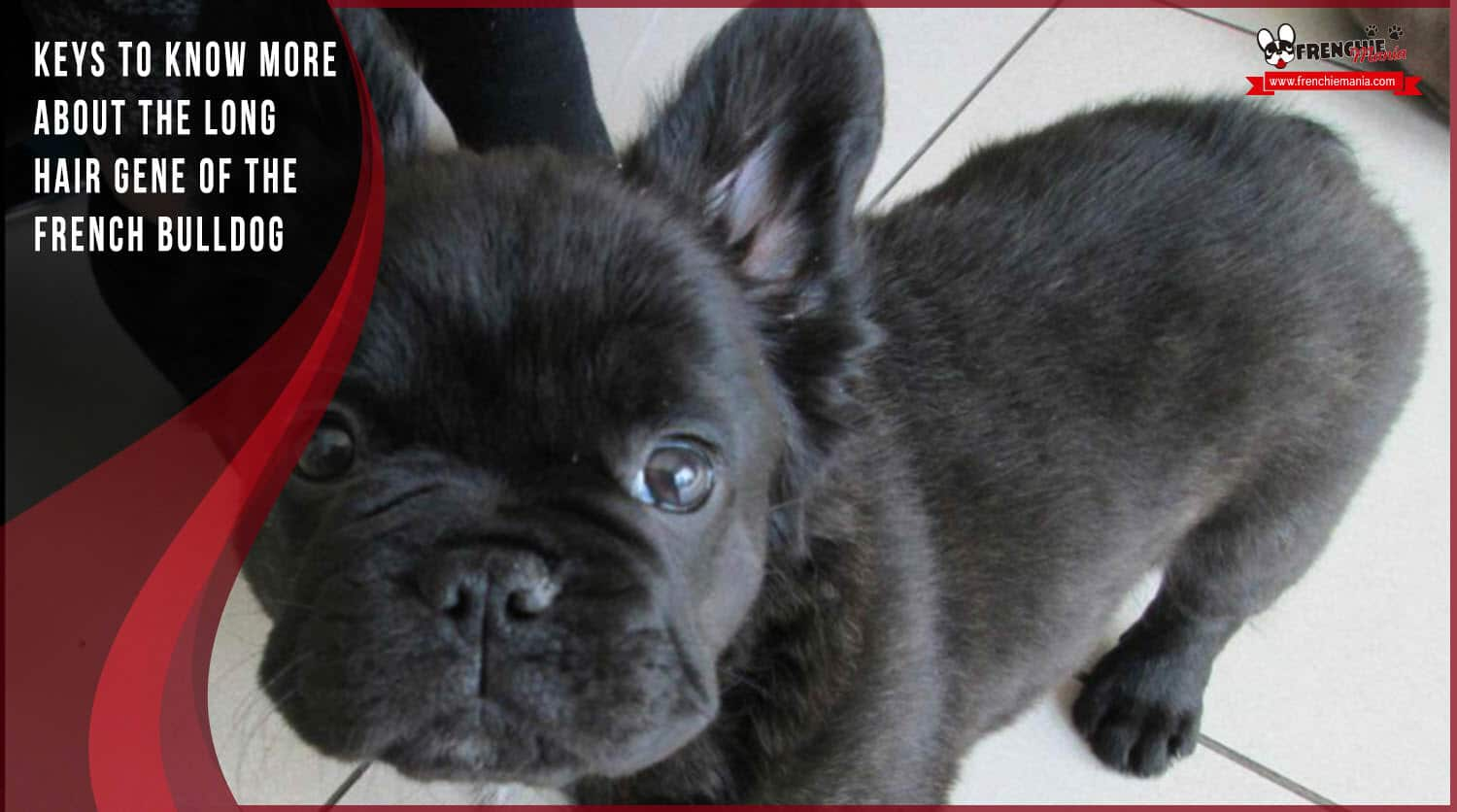 long hair gen french bulldog