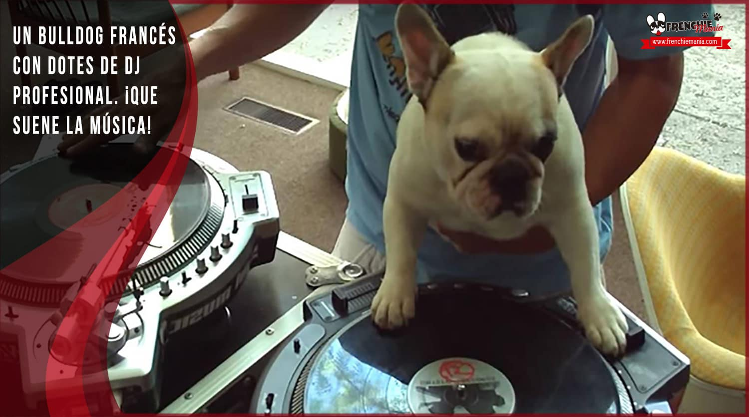 bulldog frances dj