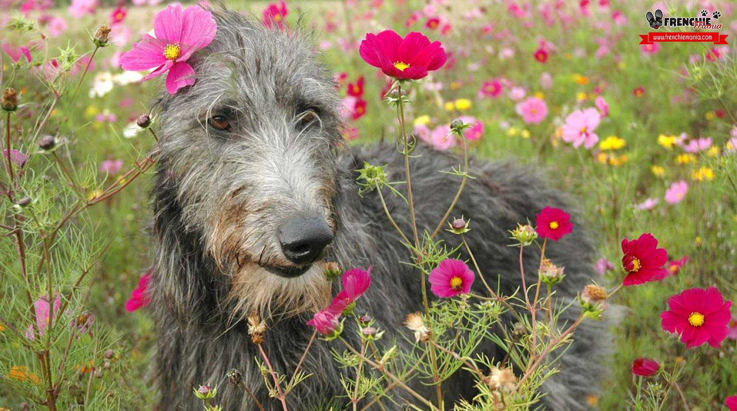 razas perros grandes mundo lebrel escoces scottish deerhound