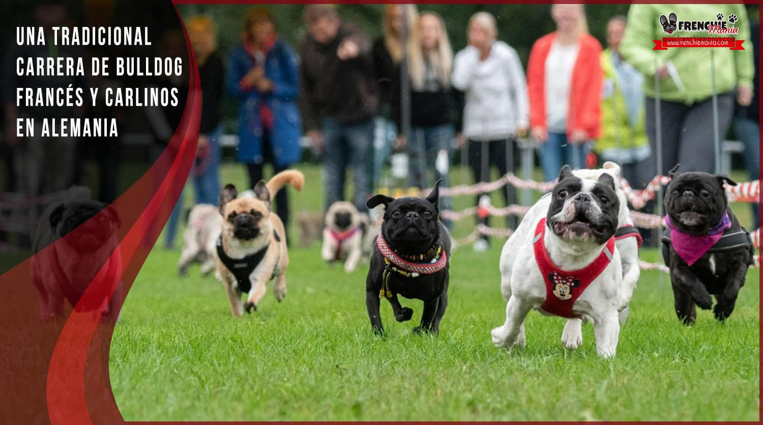 carrera perros bulldog frances carlinos alemania